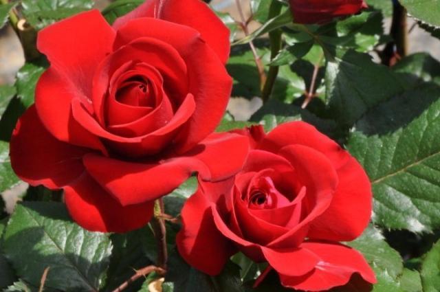 日本で一番バラを楽しめるお店を目指しています!当社のスタッフとして頑張っていただける方お待ちしております。 ★☆夏休みまでの短期の方も大歓迎☆★